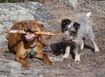 Puppies Playing.